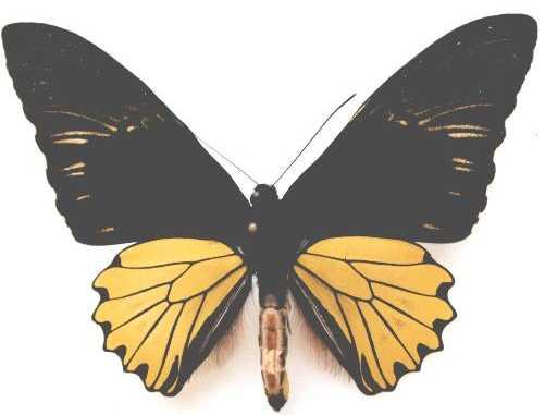 T.c.sumatrana - male - 15kB